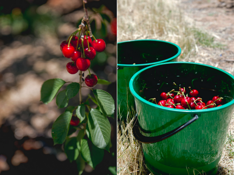 cherries in the buckets, pick your own cherry, cherry festival, young nsw.