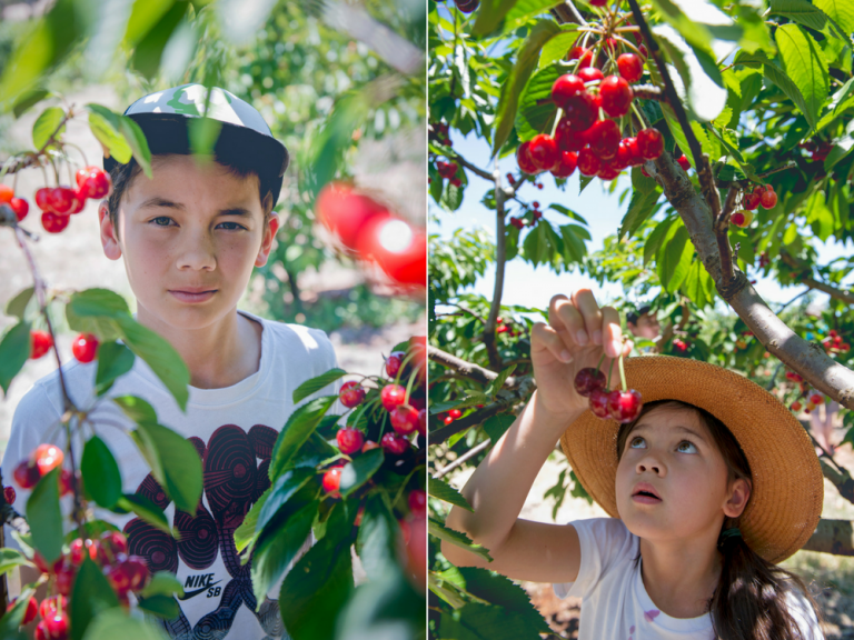 cherries in the buckets, pick your own cherry, cherry festival, young nsw, cherry picking children